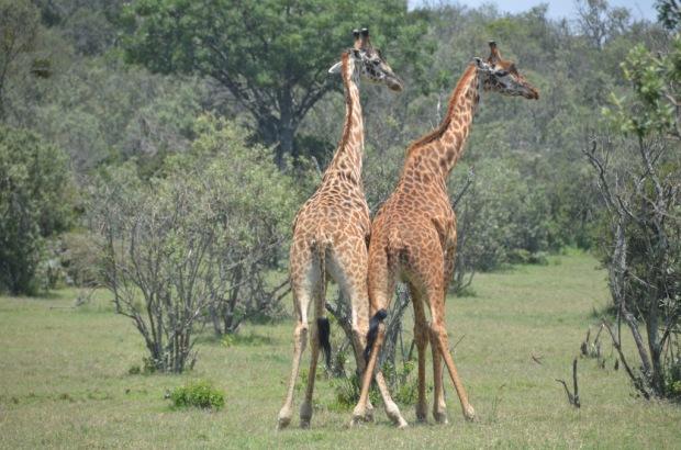 giraffe mating ritual