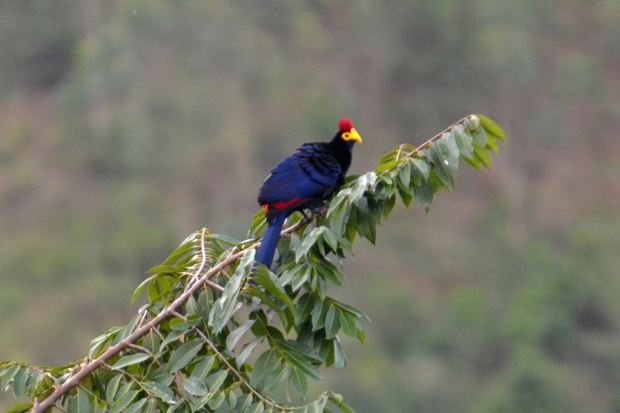 rosss-turaco