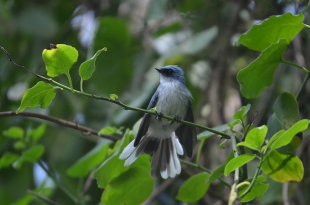 white-tailed-blue-flycatcher